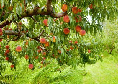 peache tree-rev