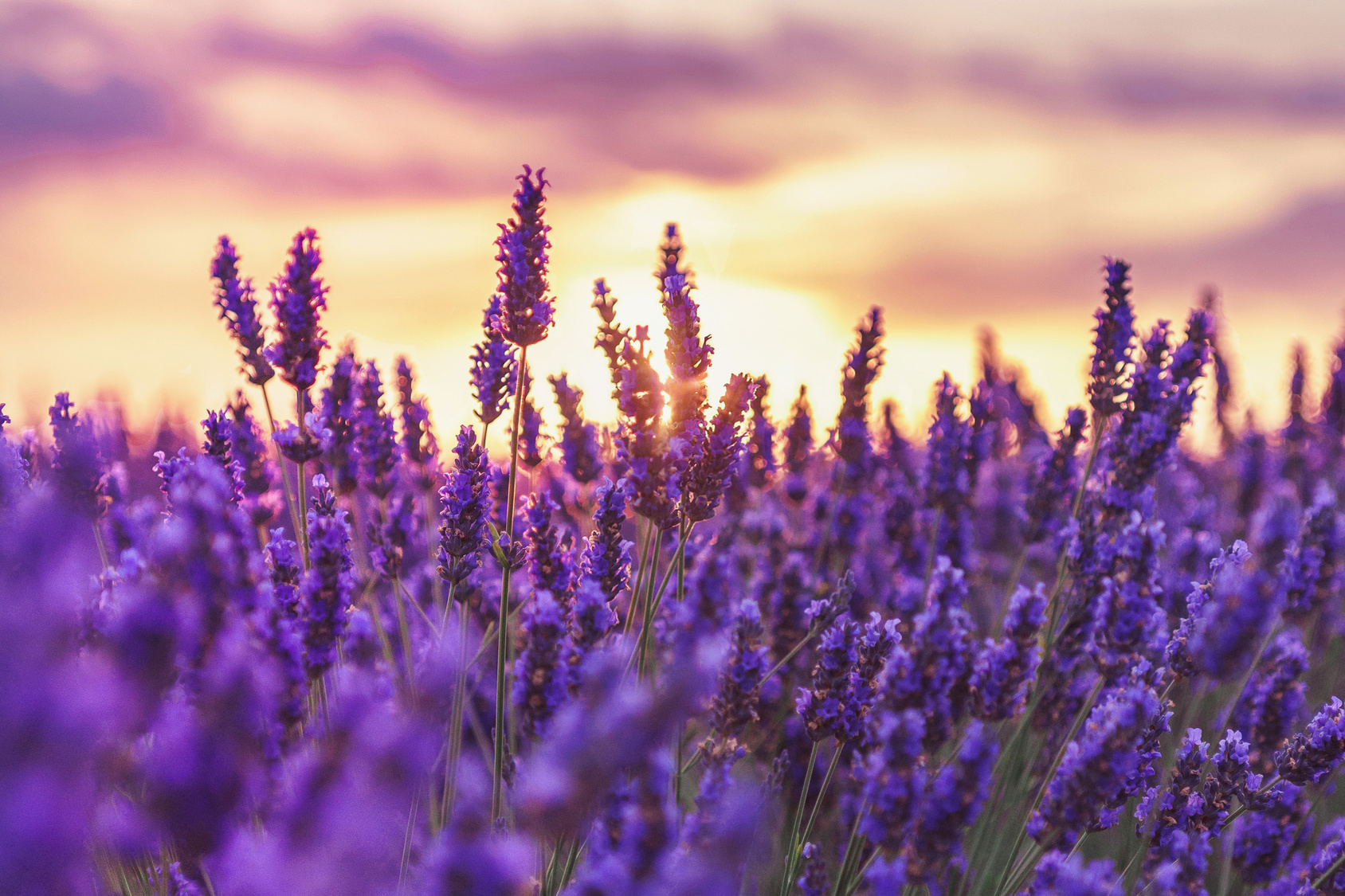 Beautiful sunset on lavender fields in Provence, France.Lavender closeup on the background of the setting sun.Lavender field with a blurred focus.Lavender field over sunser sky.